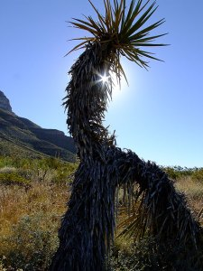 "I photographed this Kokopelli-esque cactus at Dog Canyon in southern New Mexico in 2010, with a Fuji camera whose lens had a six-bladed aperture. As you can see, the six-point sunstar tends to fan out the light, and isn't as pretty as other sunstars. I noticed just last night that the movie ""Lone Survivor"" was filmed with lenses with six-bladed apertures."