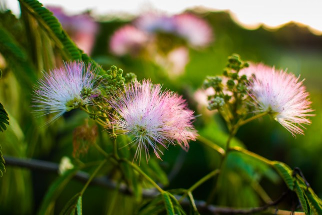 "This is a beautiful image of mimosa blossoms in our back yard. The strong selective focus creates a narrative that says, ""This natural beauty extends farther than our immediate view,"" and invites the viewer to look for more."