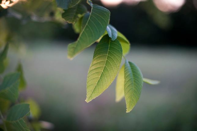 I shot this walnut leaf with the Nikon D700 and my 50mm f/1.4 at f/1.6. Compare it to...