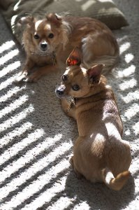 Sierra and Max the Chihuahuas bask in the morning sunshine in the living room today.