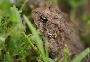 This toad was evicted from the grass I tilled up in the garden this afternoon.