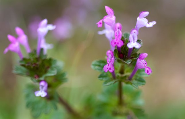 Henbit fills our yard and pasture for the first weeks of spring, then dies back for the rest of the year.