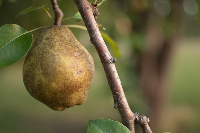 The pear tree down at Dorothy's house is bursting with fruit. Don't look for this one, though; it's inside me now.
