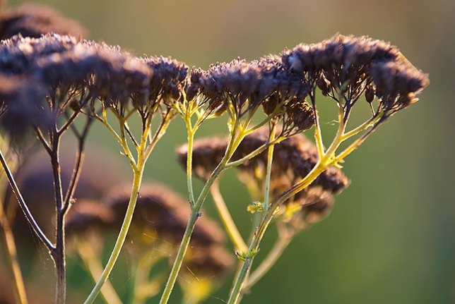 These tall plants bear tiny white blossoms early in the season which turn brown by mid summer.