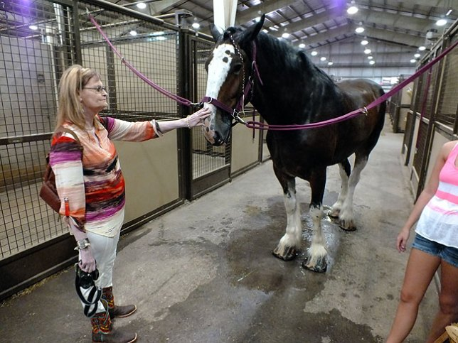 Abby pets a Percheron draft horse on the nose prior to its appearance in today's Oklahoma State Fair events.