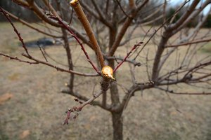 Mission accomplished: peach, plum, and cherry trees have all been pruned, and the the brush pile is smoke and ashes.