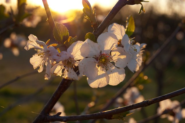 My cherry trees are in full-bloom right now, as in this image made just at dusk.