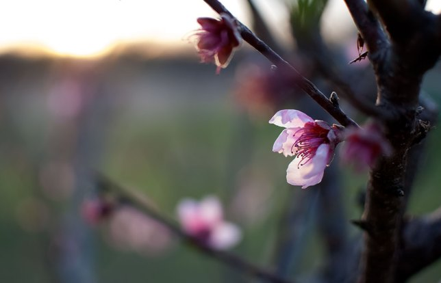 A peach blossom clings to one of my trees at dusk.