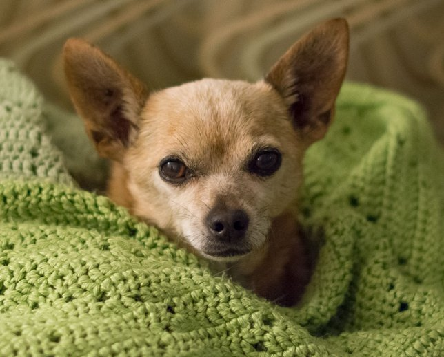 Max the Chihuahua didn't always have grey hair. He is now 13, but remains my all-time favorite pet.