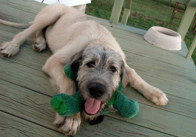 Hawken the Irish Wolfhound plays with a stuffed dog on the back deck earlier this week. He is as good-natured as any animal I've ever known, but doesn't know his size or strength yet, and can be a handful.