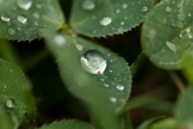 Rain clings to clover in the front yard. We have enjoyed ample rain this spring.