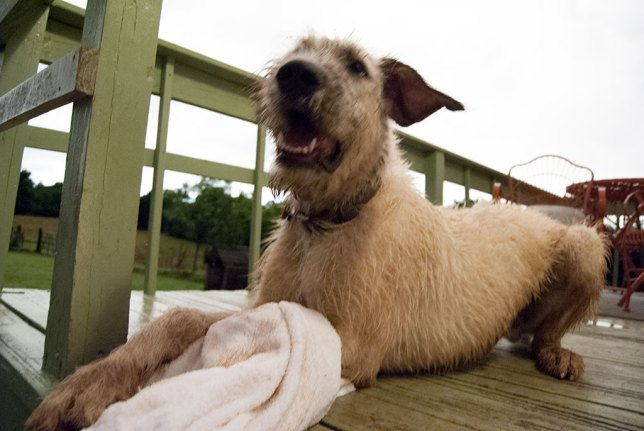 After the rain, I took a towel out to dry off Hawken the Irish Wolfhound, and he instantly decided it was a toy.