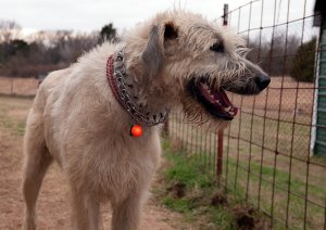 Hawken the Irish Wolfhound wears his lighted collar tag, which my sister Nicole sent.