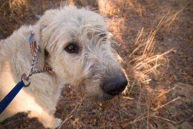 """Hawked the Irish Wolfhound looks up at me as we cross the pasture west of the range. Since he now weighs about the same amount as I do, Abby and I bought a """"German collar,"""" to which he has responded well, and which helps me maintain control when he wants to chase a rabbit or squirrel."""
