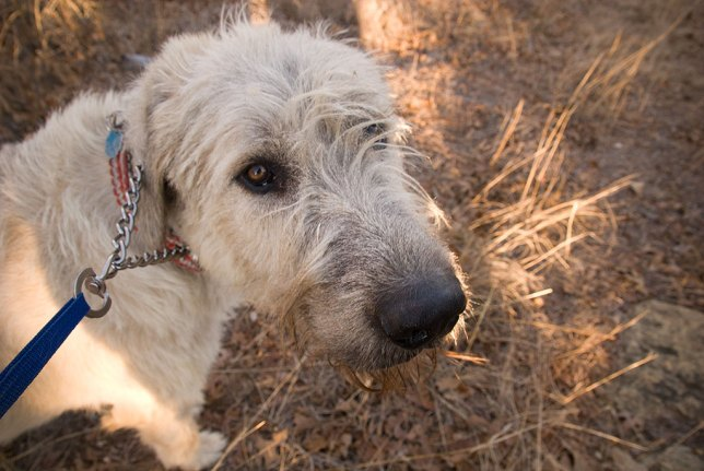 "Hawked the Irish Wolfhound looks up at me as we cross the pasture west of the range. Since he now weighs about the same amount as I do, Abby and I bought a ""German collar,"" to which he has responded well, and which helps me maintain control when he wants to chase a rabbit or squirrel."