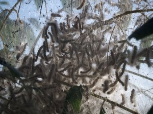 """Webworms: one of nature's top ten ways of saying, """"screw you."""""""