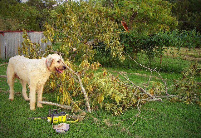 Hawken the Irish Wolfhound supervises my removal of the broken mimosa last night.