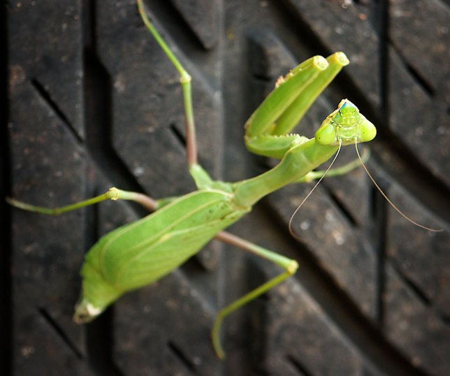 A large Praying Mantis sits on the tire of my car.