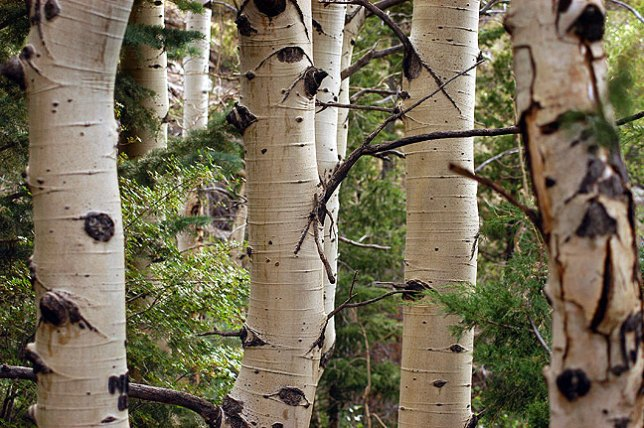 Aspens line the Mosca Pass Trail.