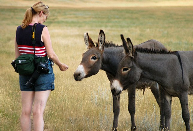 A Custer State Park employee told us about some wild donkeys in the park, and Abby was able to coax them close enough for them to eat out of her hand.