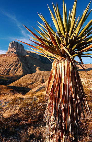 A single yucca stands at the El Capitan Peak viewpoint on highway 180 at sunset, Guadalupe Mountains.