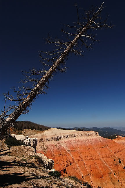 Bristlecone Pine Cedar Breaks; many of these ancient trees are dead or dying due to a pine bark beetle infestation.
