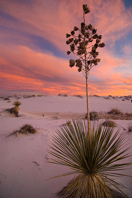 Soaptree yucca in the blue hour light after sunset at White Sands.