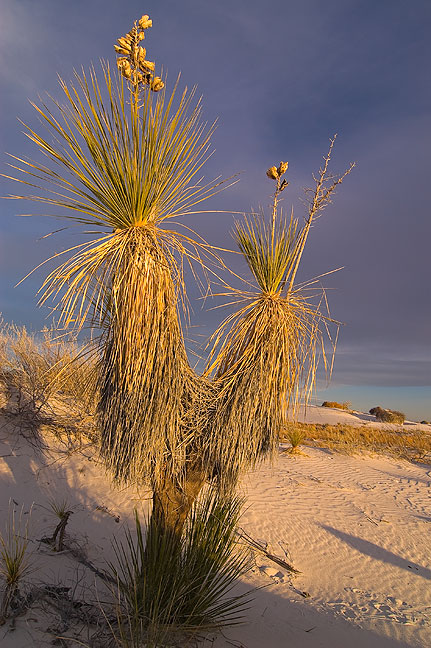 Soaptree yucca and sky at last light, White Sands.