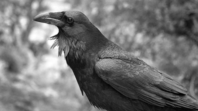 This is one of the ravens we photographed in the cliffs and stones of the Confluence trail head.