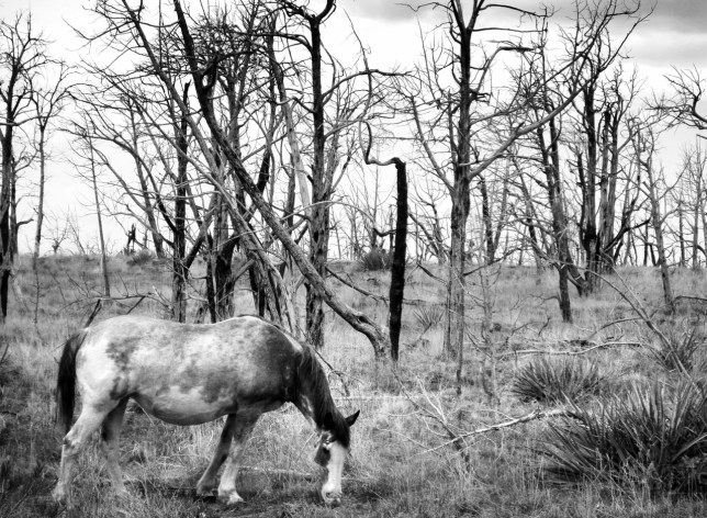 Robert spotted this handsome grey horse amidst the burned forest at Mesa Verde, and we stopped to photograph it.