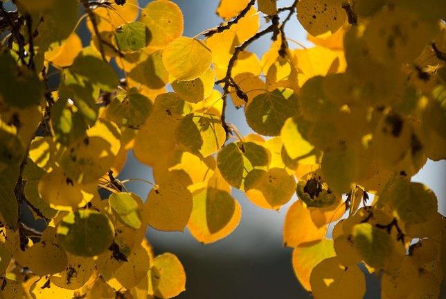 Aspen leaves, morning, Flagstaff, Arizona.
