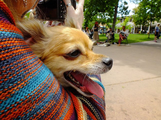 Sierra the Chihuahua enjoys the sights and sounds of The Plaza. Both dogs behaved well and were admire by many visitors.