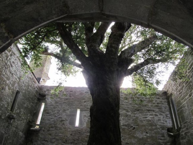 I took this photo in June in the ruins of Muckross Abbey, Killarney, Ireland. The tree, planted by Franciscan monks almost 600 years ago, is a common yew of the kind used for shrubbery in the U.S.