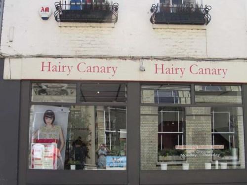 Hairy Canary x