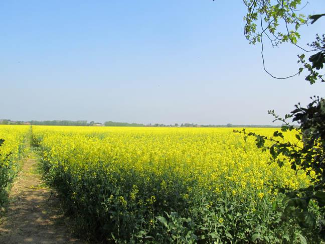 Yellow Field 2x