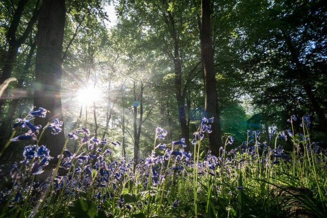 bluebell-wood_40203050180_o