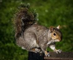 grey-squirrel_17130172341_o