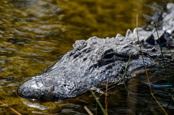 Alegator-Merritt-Island-0124721.01