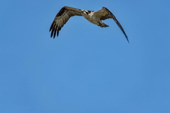Osprey-Merritt-Island-0124995.01