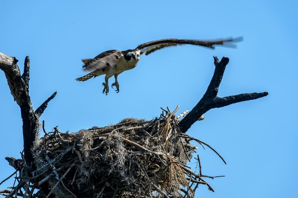 Osprey-Pandion-haliaetus-raptor-Honeymoon-Island-13-009395.01