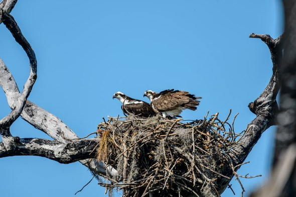 Osprey-Pandion-haliaetus-raptor-Honeymoon-Island-13-009463.01