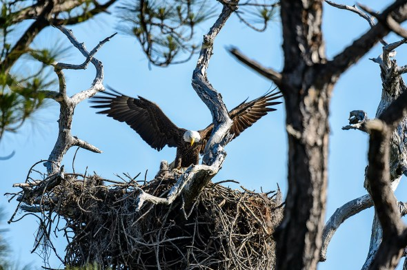 Bald-Eagle-Haliaeetus-leucocephalus-Raptor-Honeymoon-Island-13-009632.01
