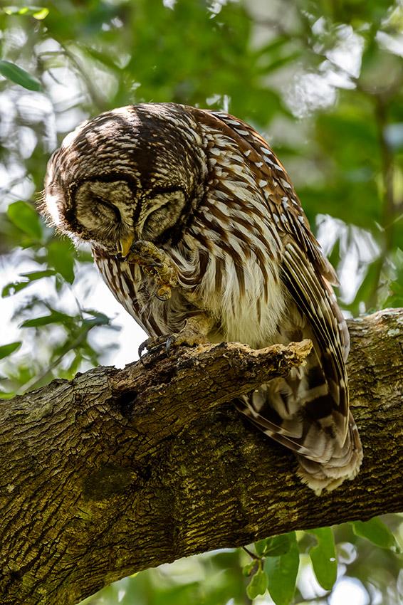 Barred-Owl-Fledgelings-Strix-varia-13-011196.vv