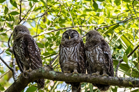 Barred-Owl-Fledgelings-Strix-varia-Pinecraft-Park-Sarasota-13-012355.vv