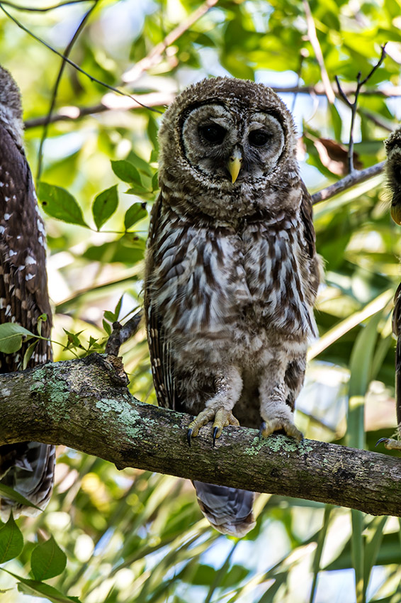 Barred-Owl-Fledgelings-Strix-varia-Pinecraft-Park-Sarasota-13-012379.vv