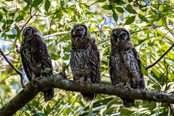 Barred-Owl-Fledgelings-Strix-varia-Pinecraft-Park-Sarasota-13-012449.vv