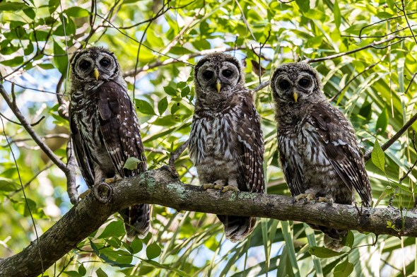 Barred-Owl-Fledgelings-Strix-varia-Pinecraft-Park-Sarasota-13-012482.vv
