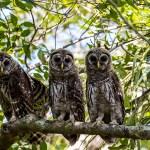 Barred-Owl-Fledgelings-Strix-varia-Pinecraft-Park-Sarasota-13-012509.vv