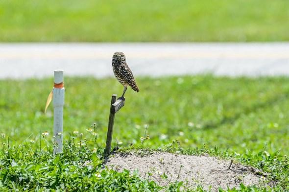 Burrowing-Owl-Athene-caunicularia-13-013219.vv