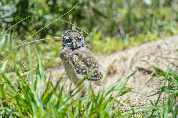 Burrowing-Owl-Athene-caunicularia-13-013271.vv